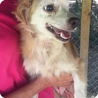 Adopt A Pet :: Laura - Chicopee, MA