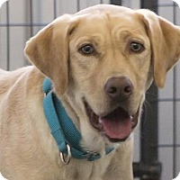 Labrador Retriever Dog for adoption in Colorado Springs, Colorado - Tequila