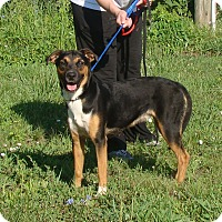 Shepherd (Unknown Type) Mix Dog for adoption in Cameron, Missouri - keely