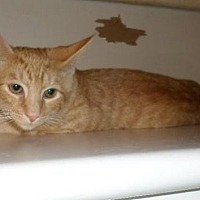 Domestic Shorthair Cat for adoption in Harrisburg, Pennsylvania - Woody (teenage male)