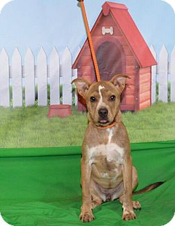 Boxer Mix Puppy for adoption in Southbury, Connecticut - Buffy (URGENT)