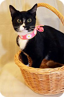 Domestic Shorthair Kitten for adoption in San Marcos, Texas - Missy