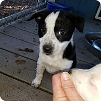 Cattle Dog Mix Puppy for adoption in Lakeport, California - Mona's Finn