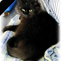 Domestic Longhair Cat for adoption in Huntington, New York - Maybelle