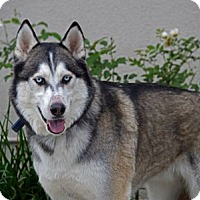Husky/German Shepherd Dog Mix Dog for adoption in Irvine, California - Bowie