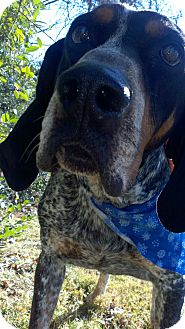 Bluetick Coonhound Dog for adoption in Sherman, Connecticut - Fugi