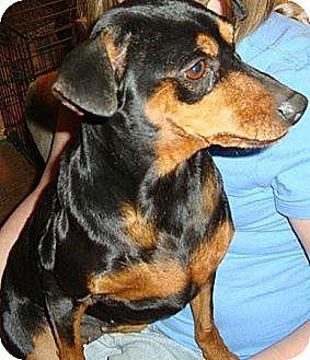 Miniature Pinscher Mix Dog for adoption in Leesport, Pennsylvania - Dutchess*SponsoredAdoptionFee