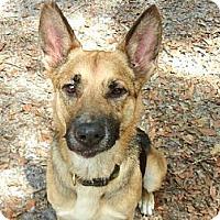 German Shepherd Dog Dog for adoption in Orlando, Florida - Raja