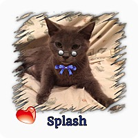 Adopt A Pet :: Splash - Harrisburg, NC