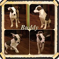 Adopt A Pet :: Buddy meet me 2/13 - East Hartford, CT