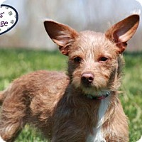 Adopt A Pet :: Boodles - Lee's Summit, MO