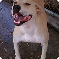 Labrador Retriever/Staffordshire Bull Terrier Mix Dog for adoption in Seattle, Washington - Apple - Gentle Girl