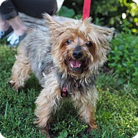 Yorkie, Yorkshire Terrier Mix Dog for adoption in Whitehall, Pennsylvania - Jello