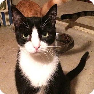 American Shorthair Kitten for adoption in Newnan, Georgia - Fonzie