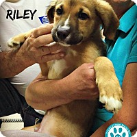 Adopt A Pet :: Riley - Kimberton, PA