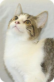 Abyssinian Kitten for adoption in Waynesboro, Pennsylvania - Prescott