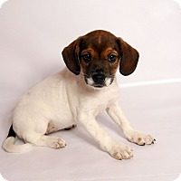 Adopt A Pet :: Timber Beagle Mix - St. Louis, MO