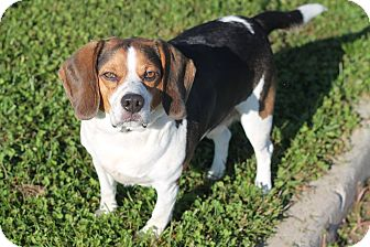 Beagle Mix Dog for adoption in Manahawkin, New Jersey - Lenny