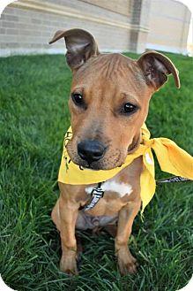Pit Bull Terrier Puppy for adoption in Fayette, Missouri - Dash