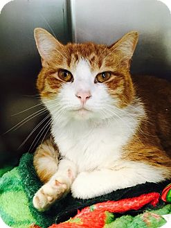Domestic Shorthair Cat for adoption in Jackson, New Jersey - Jax