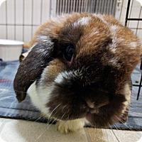 Lop, Holland Mix for adoption in St. Paul, Minnesota - Holly