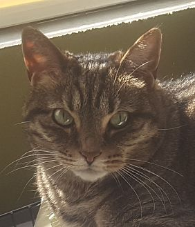 Domestic Shorthair Cat for adoption in Monroe, Michigan - Lilly T