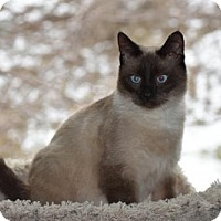 Siamese Cat for adoption in Williamston, Michigan - Ao Litter - Brandi (Mom)