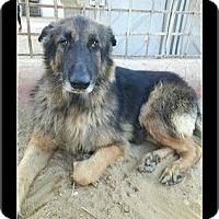 Adopt A Pet :: Shuma - Waldorf, MD