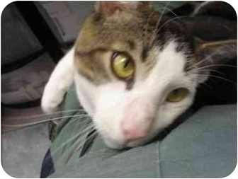 Domestic Shorthair Cat for adoption in Staten Island, New York - Houdini