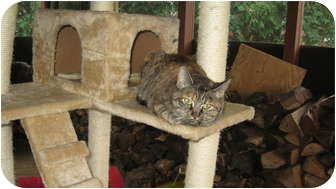 Domestic Shorthair Cat for adoption in Clay, New York - CARLA