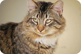 Maine Coon Cat for adoption in Bensalem, Pennsylvania - Bobbi