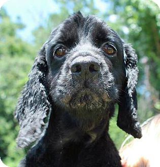 Cocker Spaniel Dog for adoption in Alpharetta, Georgia - Suzy Q
