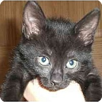Adopt A Pet :: Cameron - Lombard, IL