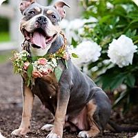 Adopt A Pet :: Bailey - Pittsbugh, PA