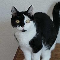 Adopt A Pet :: Callie - Santa Monica, CA