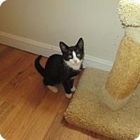 Adopt A Pet :: Bootsie - Arlington, VA