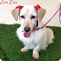 Adopt A Pet :: Zsa Zsa - San Diego, CA