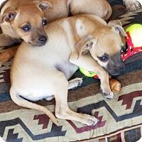 Chihuahua/Pug Mix Puppy for adoption in Phoenix, Arizona - Izzy