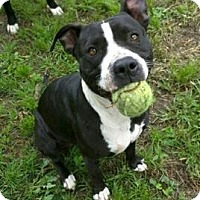 Labrador Retriever/American Pit Bull Terrier Mix Dog for adoption in Albany, New York - Angel