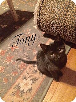 Domestic Shorthair Kitten for adoption in New Milford, Connecticut - Tony