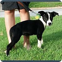 Labrador Retriever Mix Puppy for adoption in Brattleboro, Vermont - Puppy Laguna