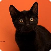 Domestic Shorthair Kitten for adoption in Flushing, Michigan - Ebony
