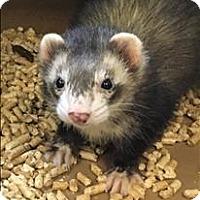 Adopt A Pet :: Malfoy - Madison, NJ