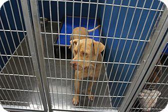 Pit Bull Terrier/Labrador Retriever Mix Dog for adoption in Henderson, North Carolina - King