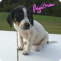 Beagle Mix Puppy for adoption in Burlington, Vermont - Agatha