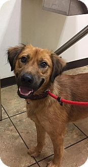 Irish Setter/Labrador Retriever Mix Dog for adoption in Charlotte, North Carolina - Brantley