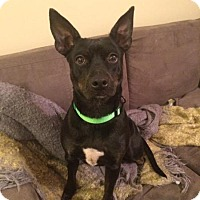 Miniature Pinscher/Terrier (Unknown Type, Small) Mix Dog for adoption in Wintersville, Ohio - DARLA