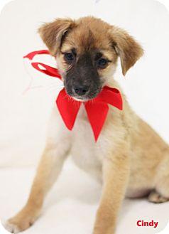 Australian Shepherd/Terrier (Unknown Type, Medium) Mix Puppy for adoption in Dalton, Georgia - Cindy