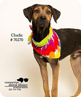 Shepherd (Unknown Type)/Labrador Retriever Mix Dog for adoption in Baton Rouge, Louisiana - Charlie