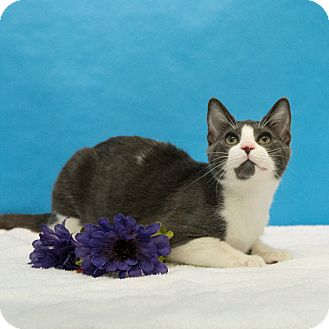 Domestic Shorthair Kitten for adoption in Houston, Texas - Portobello